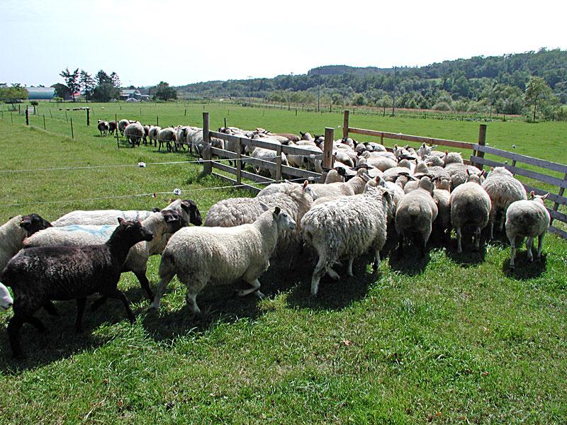 北海道白糠町の羊専門牧場 羊まるごと研究所「酒井さんの仔羊」限定入荷のご案内